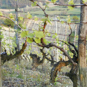 Le Rocchette vineyard. Old vines #Nizza