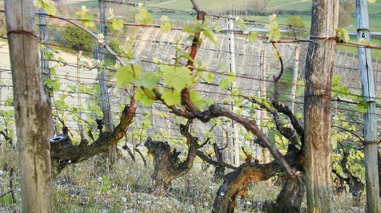 Le Rocchette vineyard. Old vines #Nizza