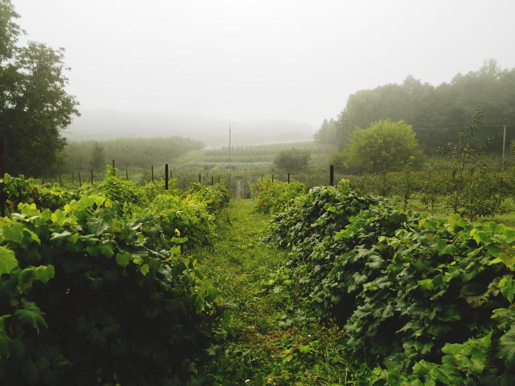 Lvivi põllumajandusülikooli viinapuuaed
